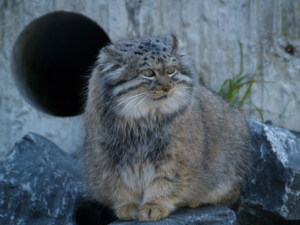 The Pallas's cat - Manul
