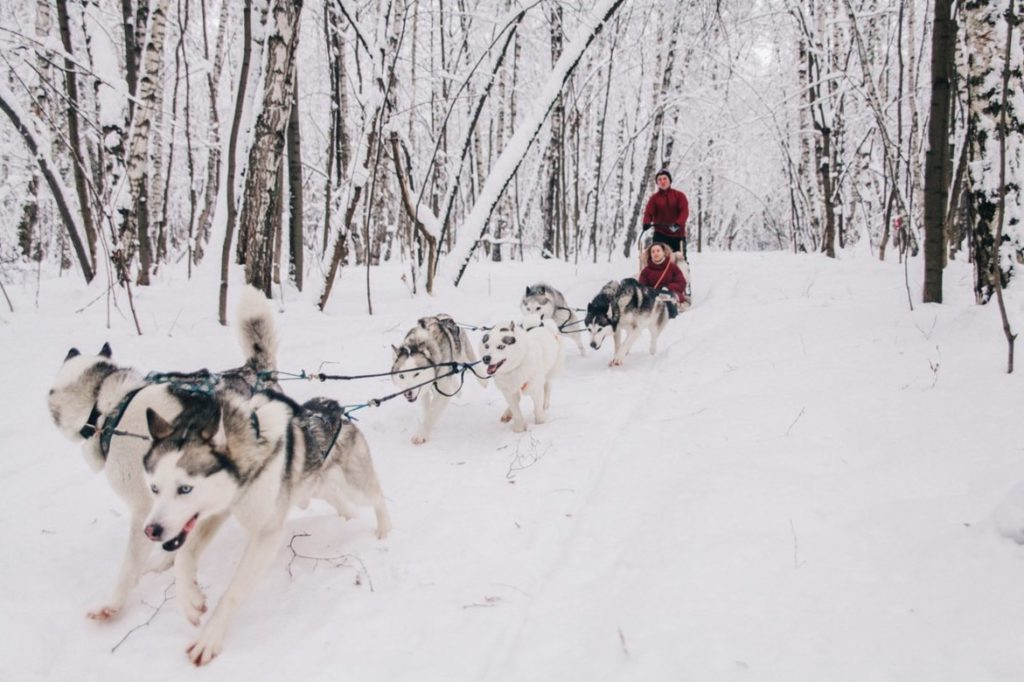 Sledge ride with Siberian huskies in Moscow